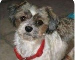 Darla is one of many dogs rescued by Crossroads Shih Tzu Rescue. Credit: Crossroads Shih Tzu Rescue