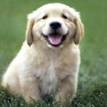 lap puppy