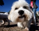 "A Maltese Terrier attends the ""Music for Dogs"" concert for canines as part of the Vivid LIVE festival at the Sydney Opera House forecourt on June 5, 2010 in Sydney, Australia."
