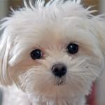 Top 4 Furry Dog Breeds