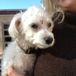 Watson Missing Maltese returned to owners