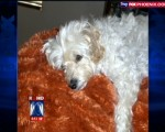 Maltese dog hit by car