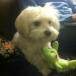 Boba Lost Maltese Dog